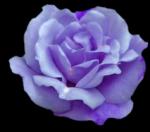 Rosenmotive - 8 Rosenblüten